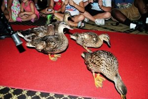 Memphis Peabody Ducks Parade